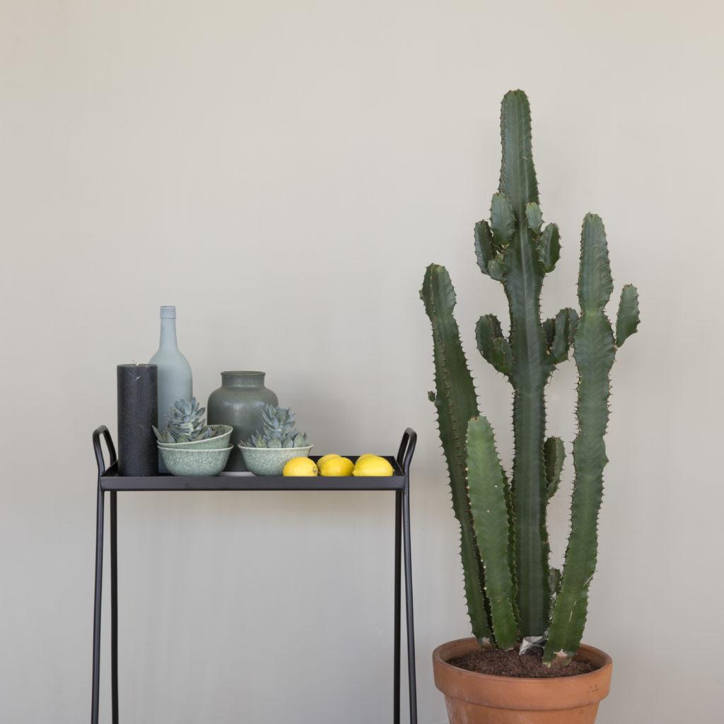 Amazona Krijtverf Olijfgrijs ranke tafel cactus